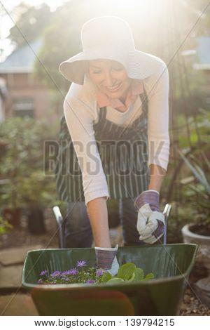 Female gardener arranging plants in wheelbarrow at greenhouse