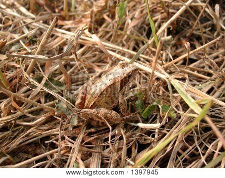 Light Brown Frog