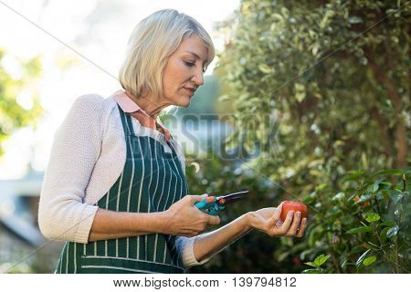 Side view of female gardener holding pruning shears and tomatoes outside greenhouse