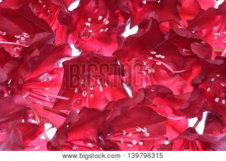 Red flower petals isolated on the white background