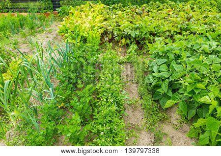 Vegetable Garden In Summer