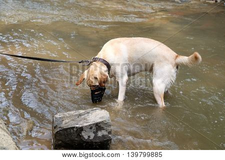 Labrador wearing muzzle playing in the river