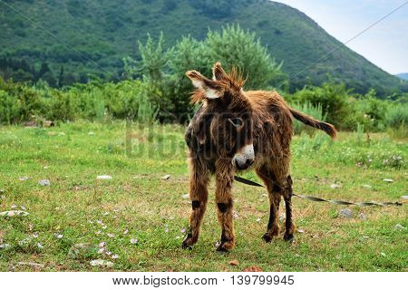 Baby donkey grazing on the green summer meadow
