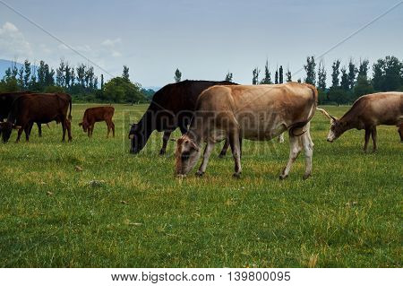 Group of grazing cows on the grassland against blue sky