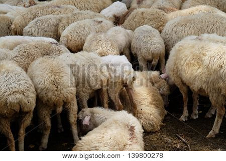 Closeup of flock of sheep herded together