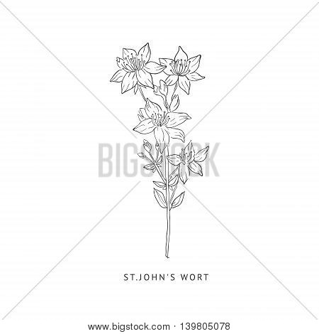 St. Johns Wort Medical Herb Hand Drawn Realistic Detailed Sketch In Beautiful Classic Herbarium Style On White Background