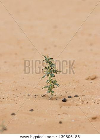 closeup desert plant (Xanthium spinosum) on sand at summer day. Vertical composition