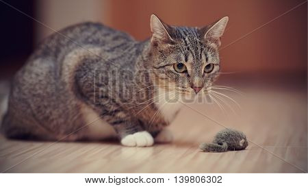 Striped cat with white paws plays on a floor with a toy mouse.