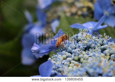 Bee on a blue hydrangea collecting pollen.