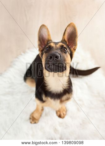 Portrait of cute dog shepherd
