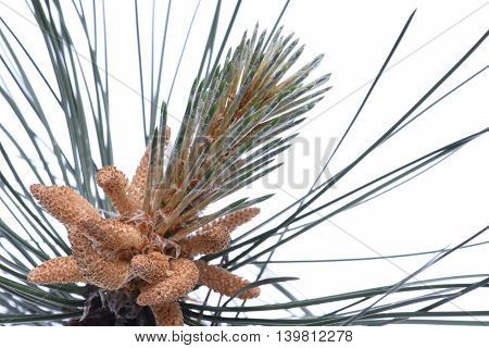 Male flowers of pine isolated on white background