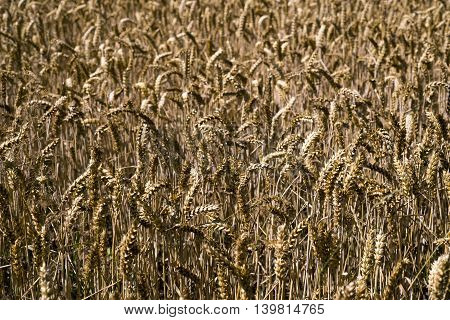 Golden wheat all over on the field and closeup