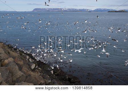 Hundreds of seagulls on coast of Iceland