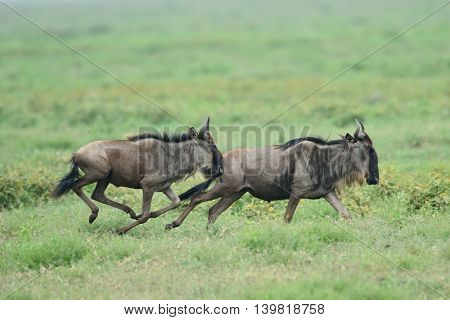 Blue wildebeest (Gnu or Connochaetes taurinus) in the Serengeti national park