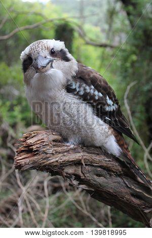 Australian Kookaburra Dacelo novaeguineae Wilsons Promontory national Park