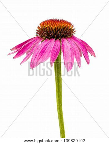 echinacea pink flower isolated on white background