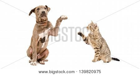Funny puppy Pitbull and playful cat Scottish Straight isolated on white background