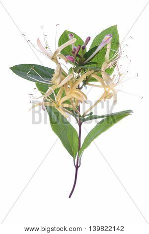 Honeysuckle with flowers isolated on the white background