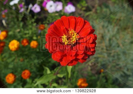 Elegant zinnia red with yellow center flower close up.