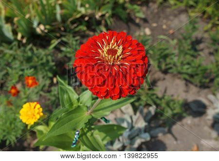 Elegant zinnia red flower close up on a sunny day.