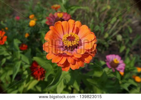 Elegant zinnia orange-pink with yellow center flower close up.