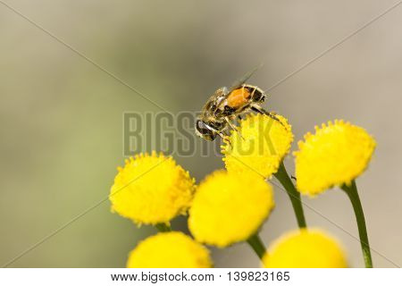 Insect Covered in Pollen on Flower close up.