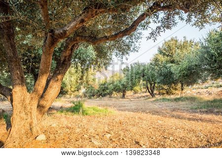 Olive trees garden. Long row of trees on the sky background.