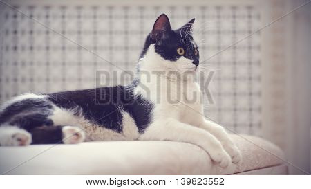 Cat of a black-and-white coloring lies on a sofa.
