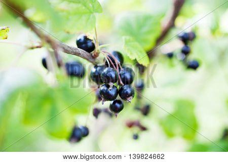 Blackcurrant growing in home garden