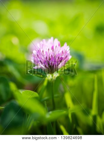 Close up of red clover