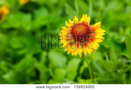 Blooming Coneflower (echinacea) Growing In Garden