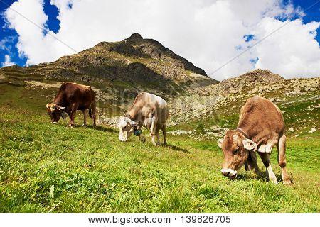 milch cow grazing on Switzerland or Austrian Alpine mountains green grass pasture