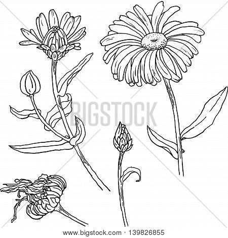 Hand drawn sketch of primula, primrose with flowers, buds, leaves. Vector format