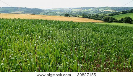 Cornfield in Axe valley in Devon England