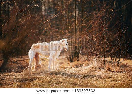 White Russian Wolfhound Dog, Borzoi, Russian Hunting, Sighthound, Russkaya Psovaya Borzaya, Psovoi.