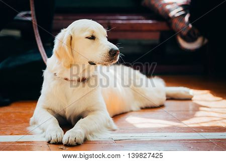 Close Up Young White Golden Labrador Retriever Dog Sitting On Wooden Floor