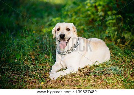 Happy White Labrador Retriever Dog Sitting In Grass, Summer Park.