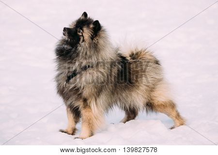 Pretty Young Keeshond, Keeshonden dog play in snow, winter season. Sunny day