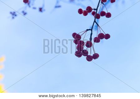 Branches with red fall berries on blue sky background close up