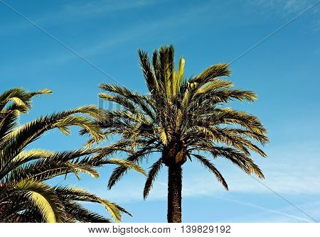 Beauty Palm Trees in Sunny Day Cross Section on Bright Blue Sky background Outdoors