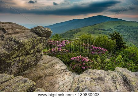 Rhododendron From the Keyhold view on Jane Bald during the June bloom