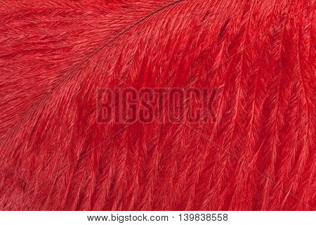 Texture of bright red ostrich feather closeup. Macro
