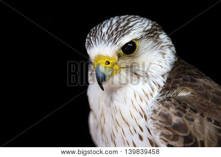 Portrait of a common kestrel isolated .