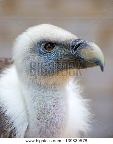 Portrait of a young white vulture .