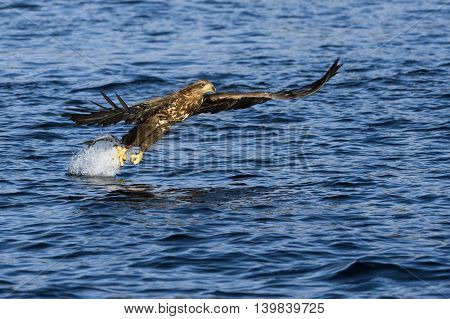 White-tailed eagle (Haliaeetus albicilla) catching fish in Norwegian bay.
