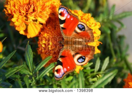 Butterflies On The Targetes Flower