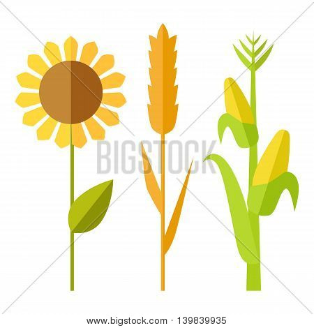 Sunflower, wheat, corn vector. Flat design. Traditional agricultural plants. Illustration for organic farming, industrial growing companies, grocery shops ad, logo element, icons infographics