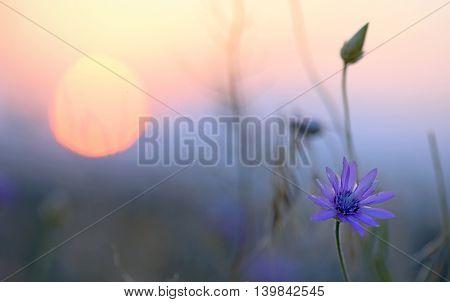 xeranthemum annuum floweers at sunset, close up