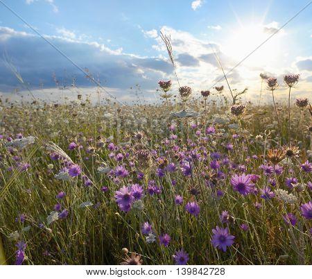 xeranthemum annuum flowers on field, in summer time