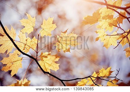 Autumn maple leaves on a branch on a background of dark sky. Golden autumn.
